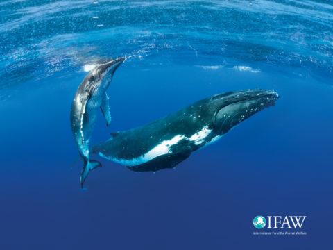 IFAW + NRDC = Sonic Sea